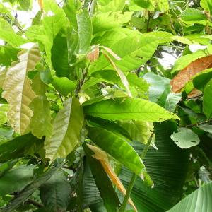 Photographie n°235561 du taxon Theobroma cacao L.