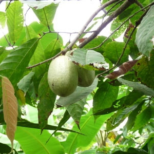 Photographie n°235562 du taxon Theobroma cacao L.