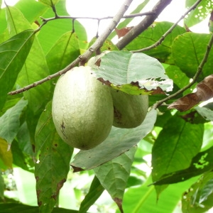 Photographie n°235563 du taxon Theobroma cacao L.