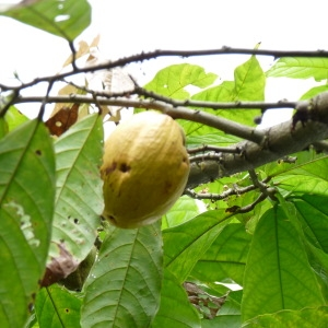 Photographie n°235564 du taxon Theobroma cacao L.