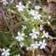 Jean-Claude Calais - Saponaria ocymoides L.