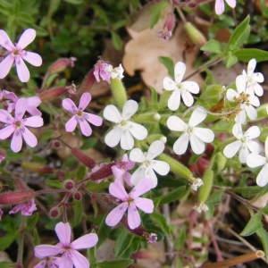 Photographie n°235623 du taxon Saponaria ocymoides L.