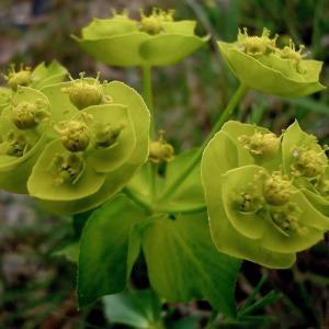 - Euphorbia helioscopia L. [1753]