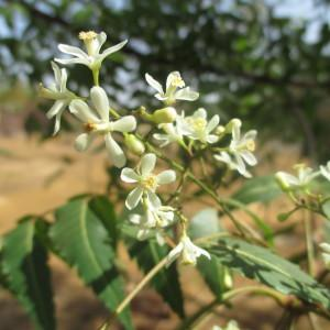 Photographie n°235975 du taxon Azadirachta indica A. Juss.