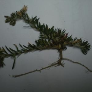 Photographie n°235989 du taxon Caryophyllaceae