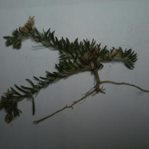 Photographie n°235990 du taxon Caryophyllaceae