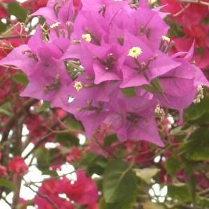 Photographie n°236079 du taxon Bougainvillea glabra Choisy