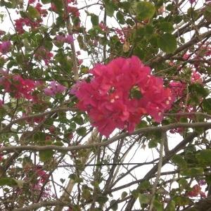 Photographie n°236080 du taxon Bougainvillea glabra Choisy