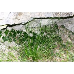 Piptatherum virescens (Trin.) Boiss. (Millet verdâtre)