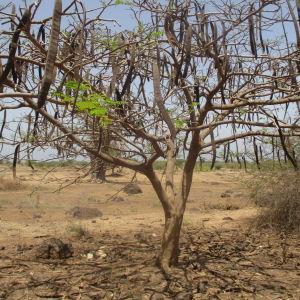 Thymelaea thesioides (Lam.) Endl. (Passerine faux thésium)