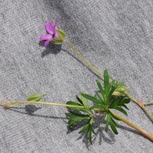 Photographie n°236247 du taxon Geranium columbinum L. [1753]