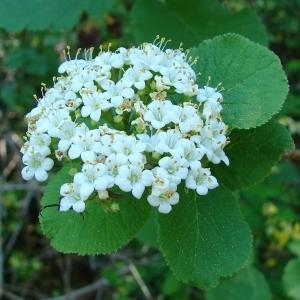 Viburnum lantana L. (Lantane)