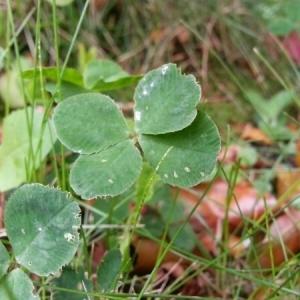 Photographie n°236372 du taxon Trifolium L. [1753]