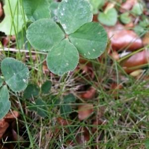 Photographie n°236373 du taxon Trifolium L. [1753]
