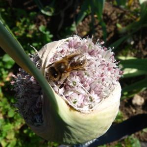 Photographie n°236383 du taxon Allium cepa L. [1753]