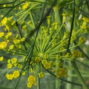 Photographie n°236438 du taxon Anethum graveolens L.