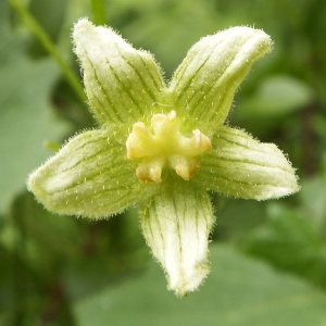 - Bryonia dioica Jacq. [1774]