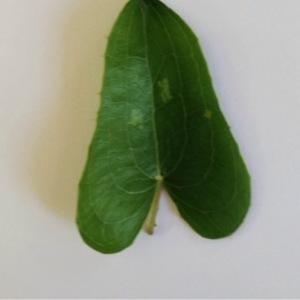 Photographie n°236465 du taxon Smilax aspera L. [1753]