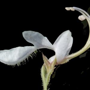 Teucrium pseudochamaepitys L. (Germandrée à allure de Pin)