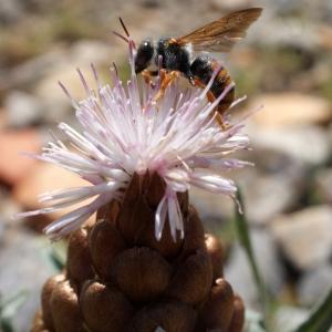 - Leuzea conifera (L.) DC. [1805]