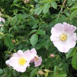Photographie n°236870 du taxon Rosa canina L. [1753]