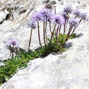- Globularia cordifolia L.