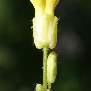 Photographie n°237128 du taxon Bunias erucago L. [1753]
