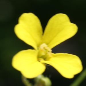 Photographie n°237130 du taxon Bunias erucago L. [1753]