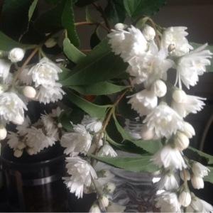 Deutzia gracilis Siebold & Zucc. (Slender Deutzia)