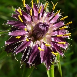 Tragopogon porrifolius L. (Salsifis à feuilles de poireau)