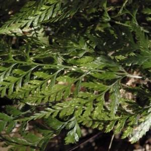 Photographie n°237254 du taxon Asplenium adiantum-nigrum L.