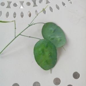 Photographie n°237270 du taxon Lunaria annua L. [1753]