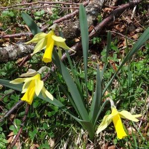 Photographie n°237620 du taxon Narcissus bicolor L. [1762]