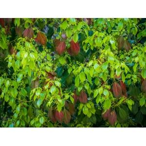 Cinnamomum camphora (L.) J.Presl