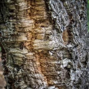 Photographie n°238151 du taxon Quercus suber L. [1753]