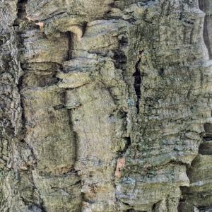Photographie n°238152 du taxon Quercus suber L. [1753]