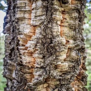 Photographie n°238153 du taxon Quercus suber L. [1753]