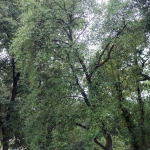 Photographie n°238154 du taxon Quercus suber L. [1753]