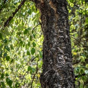 Photographie n°238156 du taxon Quercus suber L. [1753]