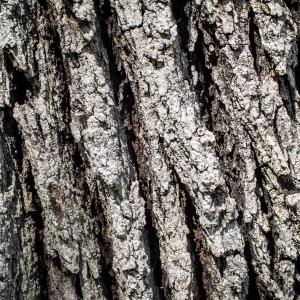 Photographie n°238157 du taxon Quercus robur L. [1753]