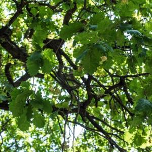 Photographie n°238160 du taxon Quercus robur L. [1753]