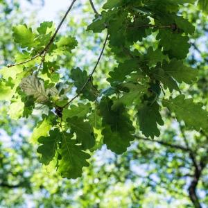Photographie n°238161 du taxon Quercus robur L. [1753]