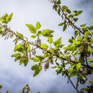 Photographie n°238162 du taxon Quercus ithaburensis subsp. macrolepis (Kotschy) Hedge & Yalt. [1981]