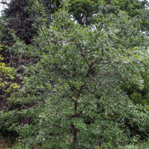 Photographie n°238163 du taxon Quercus ithaburensis subsp. macrolepis (Kotschy) Hedge & Yalt. [1981]