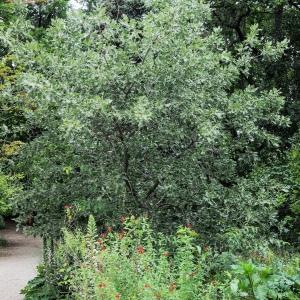 Photographie n°238165 du taxon Quercus ithaburensis subsp. macrolepis (Kotschy) Hedge & Yalt. [1981]