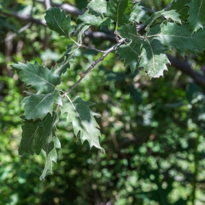Photographie n°238166 du taxon Quercus ithaburensis subsp. macrolepis (Kotschy) Hedge & Yalt. [1981]