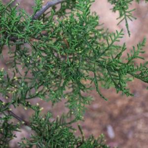 Cupressus goveniana Gordon (Cyprès de Californie)
