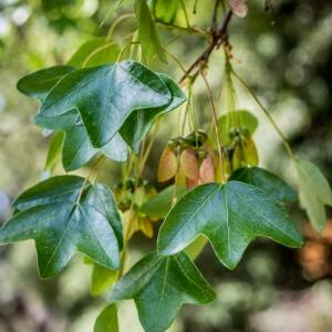 Photographie n°238190 du taxon Acer monspessulanum L. [1753]