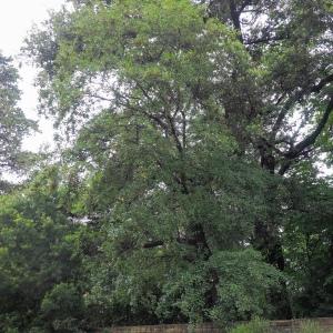 Photographie n°238191 du taxon Acer monspessulanum L. [1753]