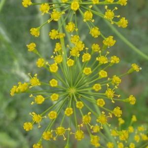 Photographie n°238303 du taxon Anethum graveolens L.